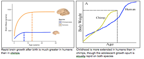 Growth in humans and chimps